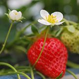 阿野観光果樹園 果物狩り